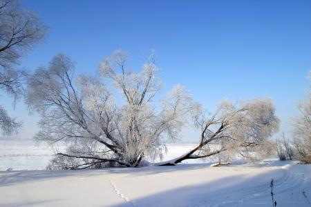 Albero Nudo In Inverno Con La Neve A Terra E La Foresta Nella Parte ...