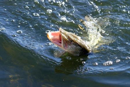 Macro vers gevangen snoek op de lijn in het water
