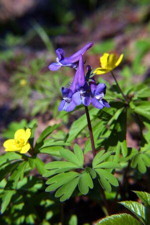 corydalis: beautiful flowering meadows primroses Corydalis in dense forest