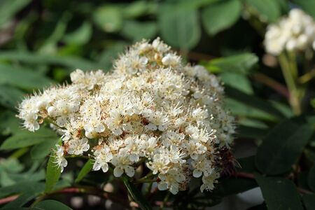 bunchy: lush bunches of white blossoms in spring Rowan
