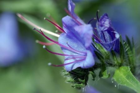 flowering fields of blue honey plants closeup