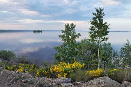 kama: Siberian pea shrub (Karagan) blooms on the Kama River