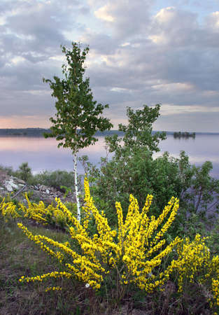 pea shrub: Siberian pea shrub (Karagan) blooms on the Kama River