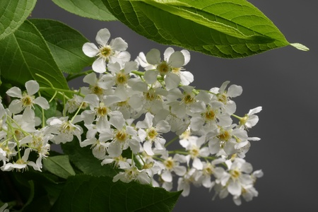 bird cherry trees blossoms in the garden close-up photo