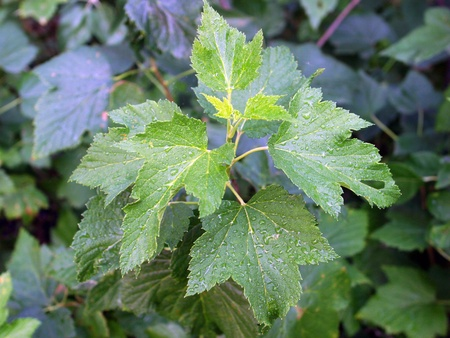 closeup currant leaves without fruit in the garden photo