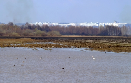 large number of birds are swimming in a pond near the town photo