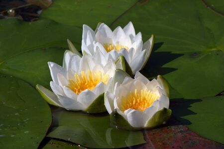 nymphaea odorata: macro white water lilies in a pond in summer