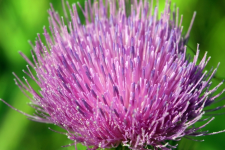 beautiful hairy round bud of a flower blooming in a field Stock Photo - 22102120