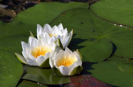 macro white water lilies in a pond in summer photo