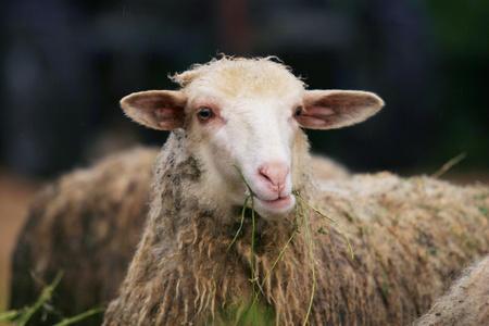 munching: close-up portrait of sheep munching grass