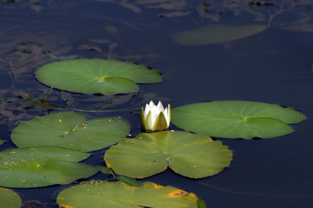 white water lilies in a pond in summer photo