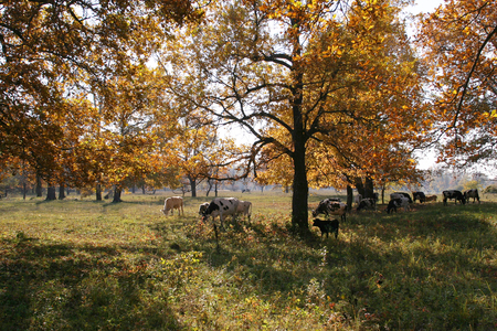 autumn landscape herd of cows grazing in an oak grove photo