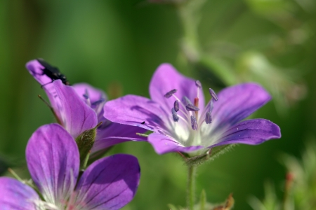 angustifolium: close-up of purple flowers in the meadow in summer