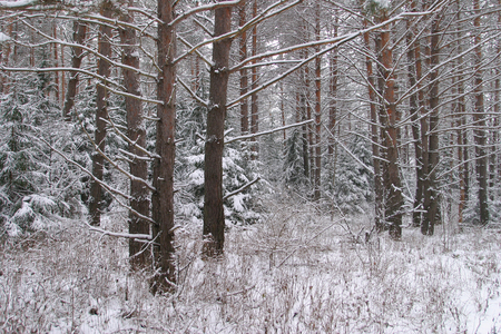 landscape pine trunks in a forest in winter photo
