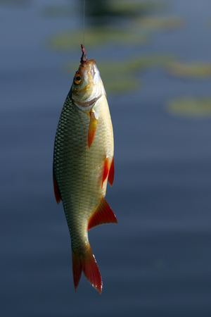 bass fishing: close-up perch on a hook on a background of water Stock Photo