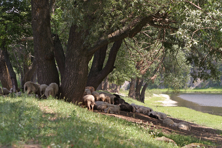 summer landscape flock of sheep grazing near a river in the Urals photo