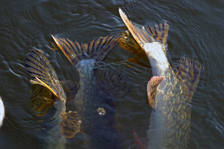 close-up of a pike caught on a hook in the river Stock Photo - 22939148
