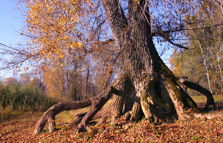 centenarian: close-up of branched roots of the tree grove in autumn