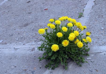 macro ontsproten door het asfalt gele paardebloem bloemen Stockfoto