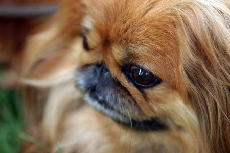 close-up dog breed Pekingese red color