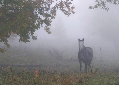 lone horse in a thick fog in the autumn in the oak grove photo