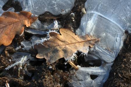macro dry yellow fallen oak leaves covered with frost and drops illuminated by sunlight Stock Photo