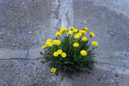 갈라진 금: 매크로는 아스팔트 노란 민들레 꽃을 통해 확