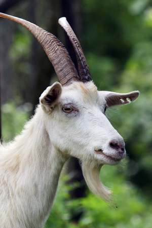 close-up portrait of a white goat with big horns and a beard on the background of green foliage photo