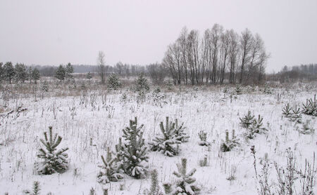 winter landscape of pine forests, the trees are covered with frost and snow photo