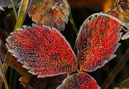 Close-up of beautiful frost on the grass and leaves frosty misty autumn morning photo