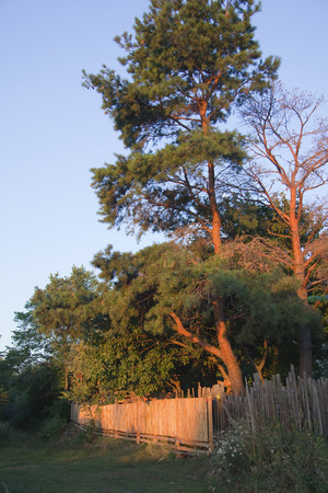 pinaceae: summer landscape majestic pines near the wooden fence in the rays of the rising sun against the blue pure sky