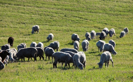 large flock of sheep grazing in a pasture photo