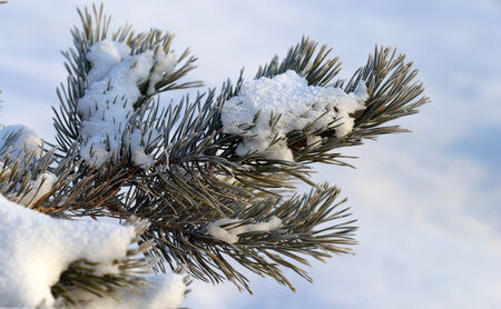 close-up of pine branch in snow and frost frosty morning in the woods on a background of white snow drifts photo