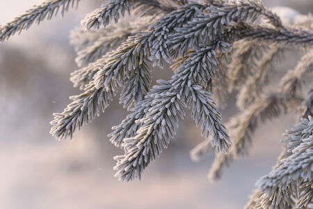 close-up branch spruce in frost and snow frosty morning in the woods on a background of white snow photo