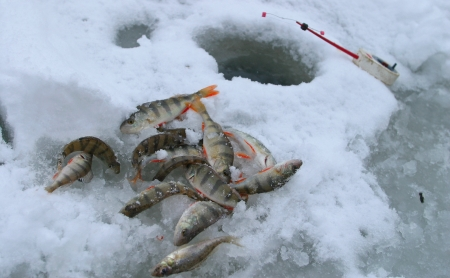 close-up of freshly caught perch and a fishing rod on the river ice near wells photo