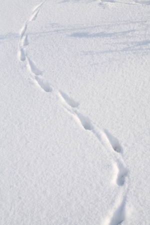 close-up isolated rabbit tracks on a clean, flat surface of the snow photo