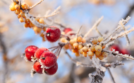 macro rowan berries and of sea buckthorn on branches covered with hoarfrost against the blue sky clear winter day Stock Photo