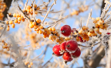 macro rowan berries and of sea buckthorn on branches covered with hoarfrost against the blue sky clear winter day photo