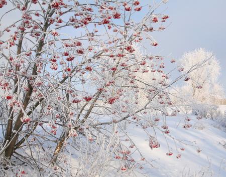 winter landscape with hoarfrost on mountain ash snowy riverbank frosty misty morning