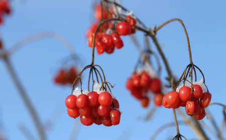 rime: close-up of red berries of viburnum and rowan in the winter frost frosty morning Stock Photo