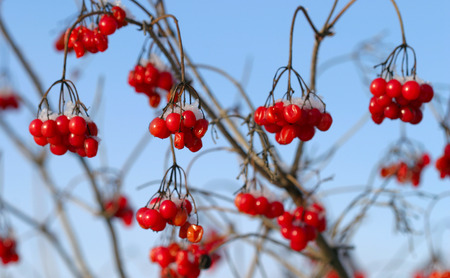 viburnum: close-up of red berries of viburnum and rowan in the winter frost frosty morning Stock Photo