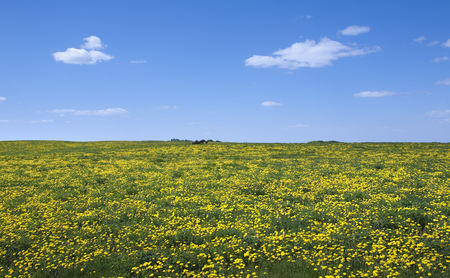 Spring landscape of big green meadow to horizon with yellow dandelions and blue sky with white clouds on a sunny day Stock Photo - 25565617