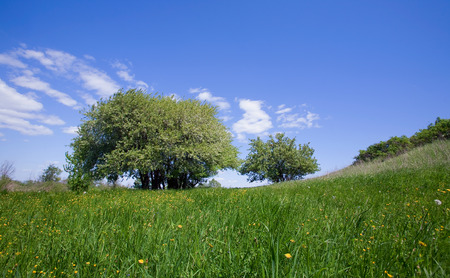 spring landscape blooming apple tree on a green meadow with yellow dandelions on a blue sky with white clouds on a sunny day photo