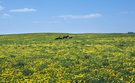 Spring landscape of big green meadow to horizon with yellow dandelions and blue sky with white clouds on a sunny day photo
