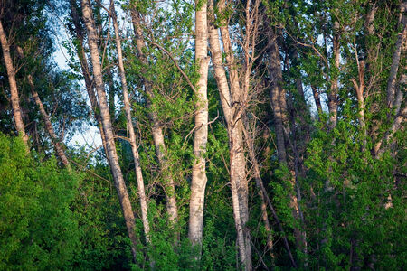 dimensions: isolated close-up of tree trunks of deciduous forest in a sunny summer day
