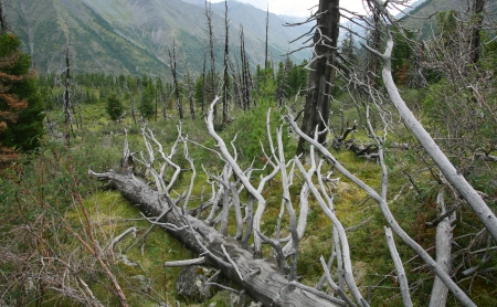 consequence: summer landscape deadwood in the forest in the East Sayan cloudy day