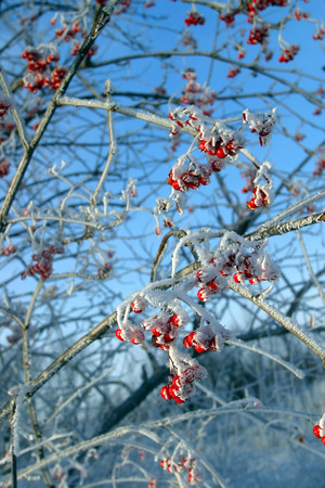 close-up of red berries of viburnum and rowan in the winter frost frosty morning photo