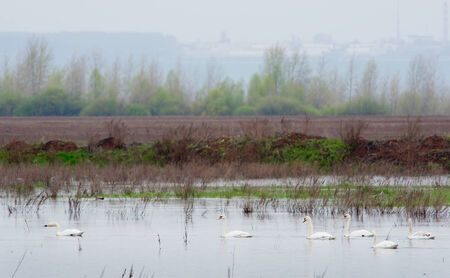 spring landscape flock of white swans on the river and the forest on the horizon misty morning photo
