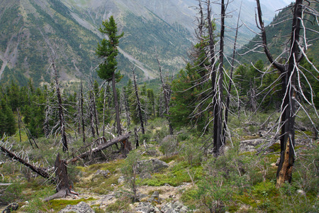 kwaśne deszcze: krajobraz lato Deadwood w lesie w pochmurny dzień East Sayan