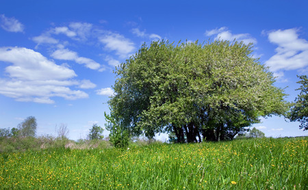 spring landscape blooming apple tree on a green meadow with yellow dandelions on a background of blue sky with white clouds on a sunny day photo